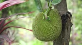 takken : Jackfruitboom en jonge jackfruits. Boomtak vol met jack fruit. 4k Stockvideo