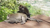 дикие животные : Monkeys in the natural environment. Bali, Indonesia. Long-tailed macaques, Macaca fascicularis