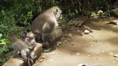 primát : Monkeys in the natural environment. Bali, Indonesia. Long-tailed macaques, Macaca fascicularis