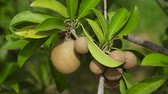 meyve bahçesi : Kiwi fruit on a tree branch in tropical garden. Ripe fruits of kiwi plant organic cultivation.