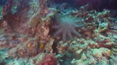 crown of thorns : Crown of thorn starfish coral reef. Dive, underwater world, corals and tropical fish. Bali,Indonesia. Diving and snorkeling in the tropical sea. 4K video.