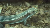 도마뱀 : Sudan plated lizard,gerrhosaures major. small lizard 4k 무비클립