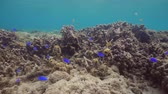 underwater video : Fish and coral reef. Dive, underwater world, corals and tropical fish. Bali,Indonesia. Diving and snorkeling in the tropical sea. Wonderful and beautiful underwater world with corals and tropical fish. Hard and soft coral. Travel concept. 4K video.