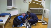 diagnóstico : Doctor radiologist is preparing a dog for X-ray.Dog in the X-ray room is prepared to examine the broken paw.