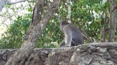 opice : Monkey at Sacred Monkey Forest, Ubud, Bali, Indonesia. Long-tailed macaques, Macaca fascicularis