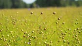 семя : Maturing flax in a large field, almost ready to harvest. Flax field in Summer. Field of golden flax seeds,4k.