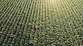 cultivating : Aerial view of a freshly growing cabbage field. Arable farmland with fresh Chinese cabbage, aerial footage. 4k. Stock Footage
