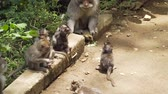 endonezya : Monkeys in the natural environment. Bali, Indonesia. Long-tailed macaques, Macaca fascicularis