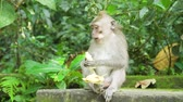 猿 : Monkey macaque in the rain forest. Monkeys in the natural environment. Bali, Indonesia. Long-tailed macaques, Macaca fascicularis