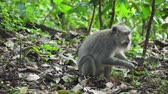 santuário : Monkey macaque in the rain forest. Monkeys in the natural environment. Bali, Indonesia. Long-tailed macaques, Macaca fascicularis