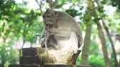 macaque : Monkey drinks water from the faucet. Bali, Indonesia. Long-tailed macaques, Macaca fascicularis