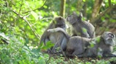 млекопитающие : Monkey macaque in the rain forest. Monkeys in the natural environment. Bali, Indonesia. Long-tailed macaques, Macaca fascicularis