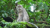 primát : Monkey macaque in the rain forest. Monkeys in the natural environment. Bali, Indonesia. Long-tailed macaques, Macaca fascicularis