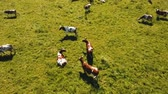 vacas : Aerial view cows graze on a green pasture on a summer day. Herd cows on a summer pasture. Aerial footage, 4K video. Stock Footage