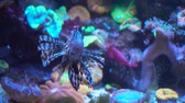 景观 : Lionfish, an invasive species also called the scorpion fish or Pterois mombasae.