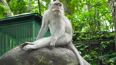 opice : Monkeys in the natural environment. Bali, Indonesia. Long-tailed macaques, Macaca fascicularis