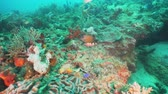 mindoro : Fish and coral reef at diving. Wonderful and beautiful underwater world with corals and tropical fish. Hard and soft corals. Philippines, Mindoro. Diving and snorkeling in the tropical sea. Travel concept. Stock Footage