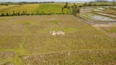 polního : Aerial view: rice plantation,terrace, agricultural land of farmers on the island Bali. 4K Aerial footage.