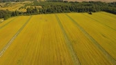 çim : Aerial view Rural landscape, ripe field of flax. Flight over the summer field, forest. drone footage, 4k.