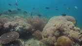 scuba dive : Fish and coral reef at diving. Wonderful and beautiful underwater world with corals and tropical fish. Hard and soft corals. Philippines, Mindoro. Diving and snorkeling in the tropical sea.