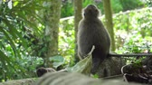 opice : Monkey macaque in the rain forest. Monkeys in the natural environment. Bali, Indonesia. Long-tailed macaques, Macaca fascicularis