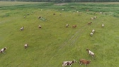 plodiny : Aerial view cows graze on the green field pasture feed on grass.. Cows on summer pasture. Cows Grazing On a meadow