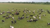 vacas : Aerial view cows graze on the green field pasture feed on grass.. Cows on summer pasture. Cows Grazing On a meadow
