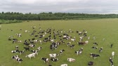 bezerra : Aerial view cows graze on the green field pasture feed on grass.. Cows on summer pasture. Cows Grazing On a meadow