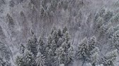hűvös : Aerial view: winter forest. Snowy tree branch in a view of the winter forest. Winter landscape, forest, trees covered with frost, snow. Aerial footage, 4K video.