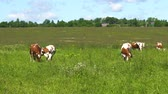pastvisko : Cows graze on a green pasture on a summer day. Herd cows on a summer pasture. 4K video. Dostupné videozáznamy