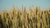 zrno : Ears of golden wheat. golden ripe ears of wheat in field. Wheat in warm sunlight