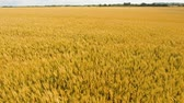 harvest : Aerial view wheat field. Golden wheat field. Yellow grain ready for harvest growing in a farm field. Aerial footage, 4k.