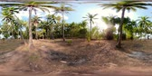 fruta tropical : vr360 palm grove on sunny day. palm agriculture farm