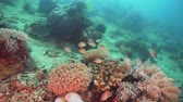 Fish and coral reef at diving. Wonderful and beautiful underwater world with corals and tropical fish. Hard and soft corals. Philippines, Mindoro. Diving and snorkeling in the tropical sea. Travel concept. Стоковые видеозаписи