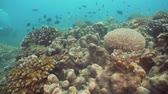 sauvage : Fish and coral reef at diving. Wonderful and beautiful underwater world with corals and tropical fish. Hard and soft corals. Philippines, Mindoro. Diving and snorkeling in the tropical sea. Travel concept. Vidéos Libres De Droits