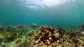 многоцветный : coral reef and tropical fish underwater world diving and snorkeling on coral reef. Hard and soft corals underwater landscape
