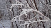 zúzmara : bush and plants covered with snow and hoarfrost. winter landscape branches covered by snow Stock mozgókép