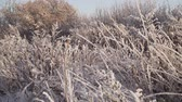 スノーフレーク : bush and plants covered with snow and hoarfrost. winter landscape branches covered by snow 動画素材