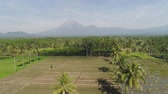 palmeiras : tropical landscape rice fields, mountains, palm trees. aerial view farmland with agricultural crops in rural areas Java Indonesia Aerial footage.