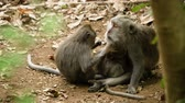 ウッズ : Monkey macaque in the rain forest. Monkeys in the natural environment. Bali, Indonesia. Long-tailed macaques, Macaca fascicularis