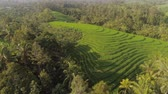 pirinç : green rice fields, terrace and agricultural land with crops. aerial view farmland with rice fields agricultural crops in countryside Indonesia,Bali Stok Video