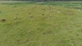 úbere : Aerial view cows graze on the green field pasture feed on grass.. Cows on summer pasture. Cows Grazing On a meadow