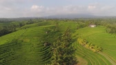 tropikal : green rice fields, terrace and agricultural land with crops. aerial view farmland with rice fields agricultural crops in countryside Indonesia,Bali Stok Video