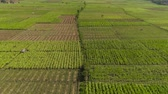 tabak : aerial view agricultural land with sown green,tobacco field in countryside. farmland with tobacco plantation agricultural crops in rural areas Java Indonesia. Land with grown plants of paddy Aerial footage.