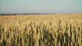 épis blé : Ears of golden wheat. golden ripe ears of wheat in field. Wheat in warm sunlight