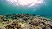 šnorchl : Tropical coral reef and fishes underwater. Hard and soft corals. Underwater video. Camiguin, Philippines.