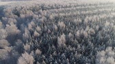 frio : aerial view forest covered snow, frost. Frozen branches with hoarfrost in winter forest on sunny day winter landscape