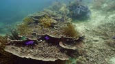 cay : Tropical fishes and coral reef at diving. Beautiful underwater world with corals and fish. Camiguin, Philippines.