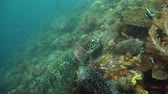 tartaruga : Green sea turtles underwater among corals. Wonderful and beautiful underwater world.