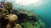 šnorchl : Beautiful underwater world with coral reef and tropical fishes, 360 panorama. Camiguin, Philippines. Travel vacation concept Dostupné videozáznamy